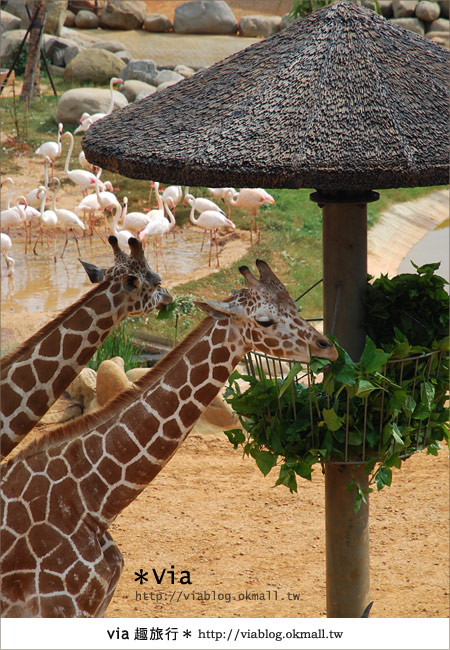 【新竹住宿】來去和動物住一晚~關西六福莊生態渡假旅館15