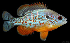 Lepomis humilis (Lance Merry) Tags: county male illinois lance merry humilis sunfish macon lepomis orangespotted