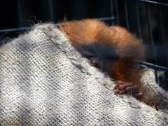 Golden lion tamarin baby (barbarajchin_rd) Tags: animals zoo monkeys tamarins