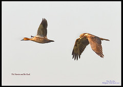 Eastern Marsh Harrier with Philippine Duck (Rey Sta. Ana) Tags: wild white bird eye heron birds photography bay ana pics wildlife low philippines flock ducks rail kites manila rey land birdsinflight subic coron eagles dinosaurs waders cuckoo avian sta waterbirds bif palawan eastwood sunbird shrike philippine wildbirds bestshots ternate drongo mantarey coucals candaba staana avianphotography midoro 672178186 923681625 360351256 596691615 philippinebirds reysa bestimages philippinescenery birding2010 mtkalaonpark philippinebirdphotography reystaana