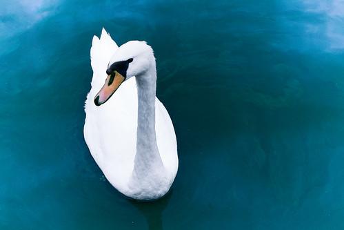 フリー写真素材, 動物, 鳥類, カモ科, 白鳥・ハクチョウ,
