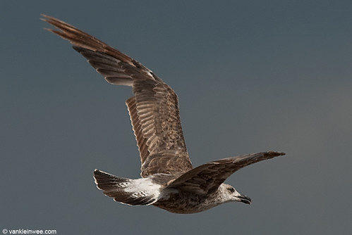 Norwegian Lesser Black-backed Gull, 2cy, Bk[JZZ7]