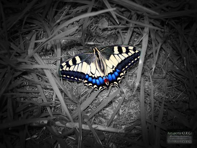 Mariposa Abatida