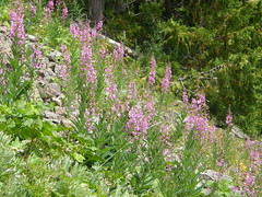 Flowers on Marmot Pass trail.