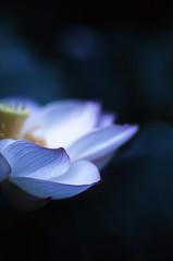 (rosemary*) Tags: pink white flower lotus f3 2010 tamron90