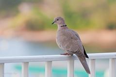 Turtle Dove (HappyJP) Tags: france bird ctedazur 70300mm antibes capdantibes frenchriviera nikond300s
