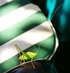 Visitor on my garden chair without sense of shame (Eisgrfin (very busy)) Tags: summer green nature garden sommer grasshopper grn garten grashpfer eisgrfin theoriginalgoldseal