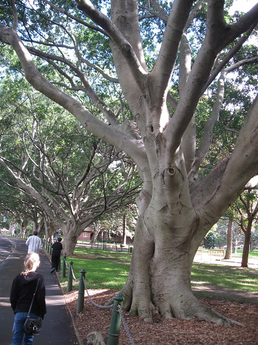 Port Jackson fig trees along Art Gallery Road