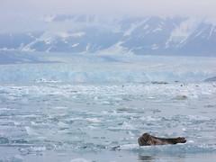 Harbor seal near Hubbard Glacier (Vladimir Dinets & almondd) Tags: sea ice animal alaska fauna mammal north glacier seal