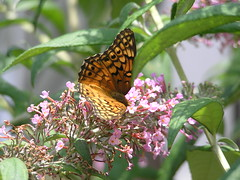 Variegated Fritillary Butterfly (78spacecadet) Tags: butterfly variegated fritillary
