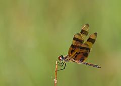 Halloween Pennant (DMF Photography) Tags: florida dragonflies insects jupiter palmbeachcounty riverbendpark halloweenpennant eastcoastofflorida