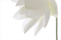 White Lotus Flower IMG_8487 (Bahman Farzad) Tags: white flower macro yoga peace waterlily lotus relaxing peaceful meditation therapy lotusflower lotuspetal lotuspetals lotusflowerpetals lotusflowerpetal