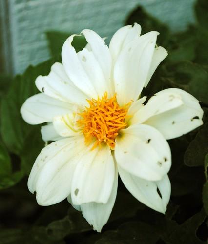 White Dhalia