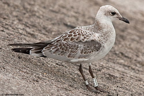 Mediterranean Gull, 1cy, W[34V3]