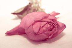 single dying rose (little~ny) Tags: pink flower rose female alone petal single fragrant dying thrownlost