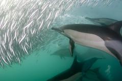 Sardines (59) (jtresfon) Tags: southafrica underwater dive dolphins copper sharks whales dusky gannets wildcoast sardinerun portstjohns bronzie brydes jeantresfon seenonflickr