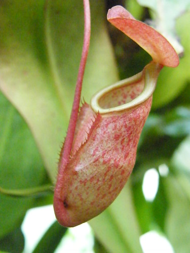 Nepenthes [Cockrell Butterfly Center]