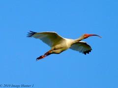 White Ibis (Image Hunter 1) Tags: blue sky nature birds flying wings louisiana flight ibis bayou swamp marsh wingspan whiteibis wingspread birdslouisiana panasonicfz35