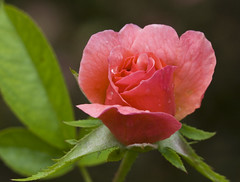 All the Rage (Shotaku) Tags: pink flowers red roses summer macro water crimson rain rose drops rosa raindrops buds bud waterdrops rosebush 2010 blooming alltherage inbloom easyelegance
