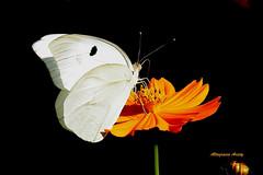 Mariposa/Butterfly/Farfalla/Borboleta/Papillon (Altagracia Aristy Sánchez) Tags: blackbackground butterfly américa dominicanrepublic papillon borboleta tropic caribbean mariposa farfalla antilles laromana caribe caraibi repúblicadominicana fondonegro trópico antillas sfondonero quisqueya fujifilmfinepixs8100fd fujis8100fd fujifinepixs8100fd lahispaniola altagraciaaristy caraïbi