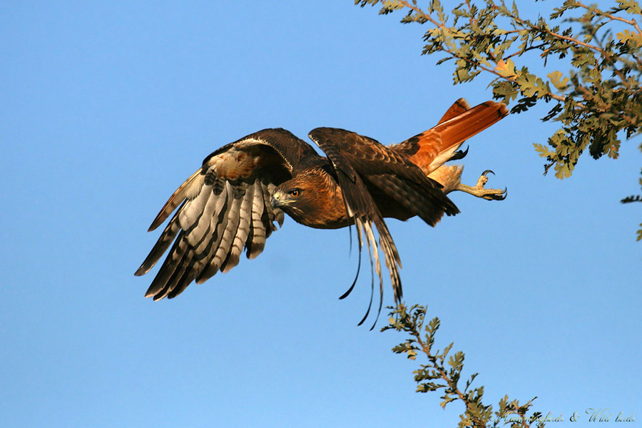 Red-tailed-Hawk-120902