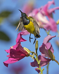 Olive-backed Sunbird (Cinnyris jugularis) (Lip Kee) Tags: olivebackedsunbird cinnyrisjugularis avianexcellence cinnyrisjugularisornatus