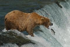 Bad Luck! (Dave Schreier) Tags: bear camp david fall water alaska dave bravo salmon grizzly brooks schreier wwwdlsimagescom