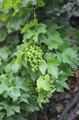 Cottswolds_Grapes (Environmental Artist) Tags: world voyage uk greatbritain trip travel vacation england holiday art history nature landscape photo scenery europa europe european view britain kunst culture peaceful visit location explore exotic photograph delight vista destination serene geography paysage exploration pure tranquil sustainability pristine sighseeing