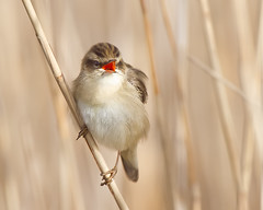 Sledgy (Andrew Haynes Wildlife Images) Tags: bird nature wildlife norfolk nwt warbler sedgewarbler cleymarsh canon7d ajh2008