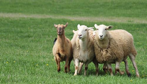 Sheep Running Awkwardly  :D