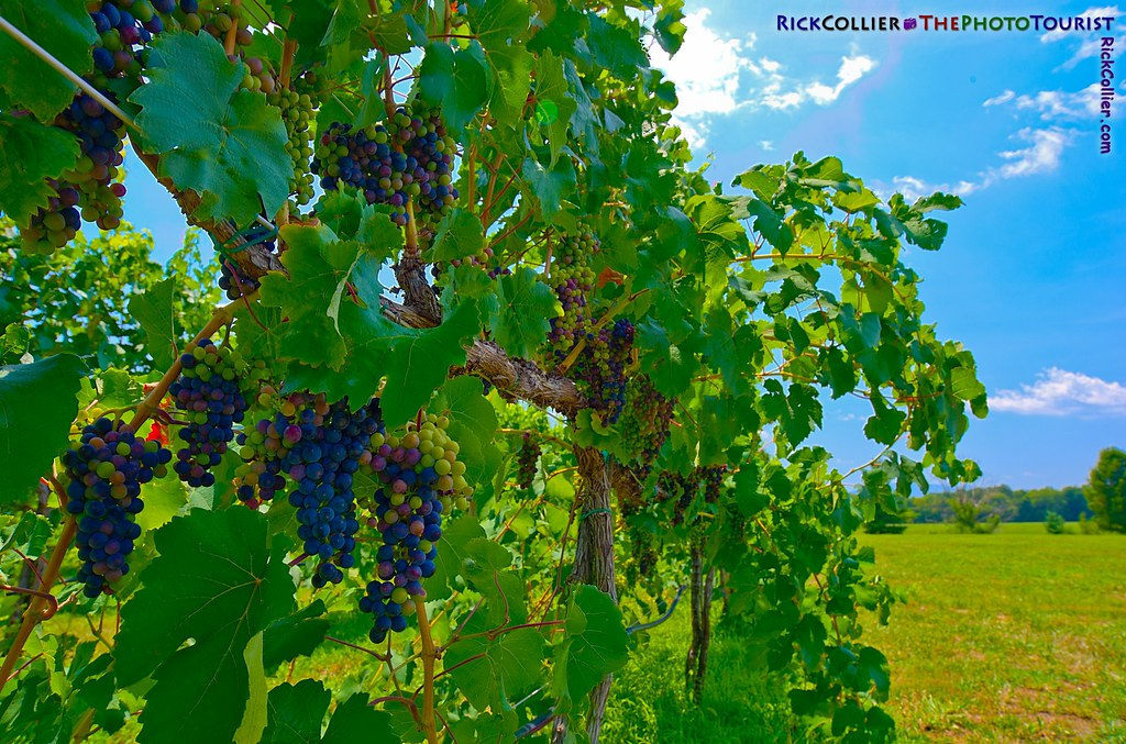 HDR image of wine vineyard, with grape bunches in the process of veraison
