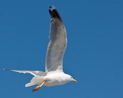 gull 38 (boris goricki) Tags: seagulls gulls galebi
