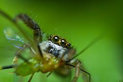 Jumper up-close w/ prey. (Ian Cuison Photography) Tags: macro spider jumper spc fis togodbetheglory mcgi canon7d iancuison