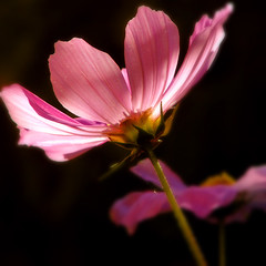 I held a Jewel in my fingers (Nick Kenrick.) Tags: pink summer sunlight flores flower macro petals spring flora erotic romance sensual petal professional bouquet cosmos hdr scent imagery erotique zedzap bestofmywinners hqphotography