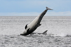 Moray firth dolphins (Ally.Kemp) Tags: point scotland highlands jump jumping marine dolphin wildlife scottish highland dolphins mammals leap leaping breaching moray rosemarkie firth chanonry bottlenose morayfirth breach fortrose chanonrypoint