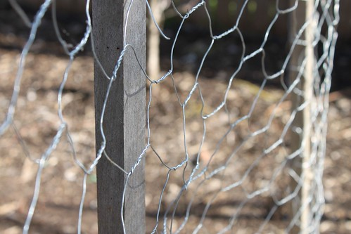 Chicken wire for the snow peas