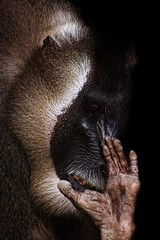 No photo please! (Too late) (CW61) Tags: animal ape baboon drill tier affe pavian zoohannover