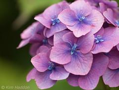 Purple Petals... (Lady Haddon) Tags: copyright flower macro flora purple 100mm hydrangea allrightsreserved 2010 hydranga purplegreen canonef100mmf28macrousm canon400d flowersarebeautiful mixofflowers kimhaddon ©kimhaddonphotography kimhaddonfave kimhaddonphotography