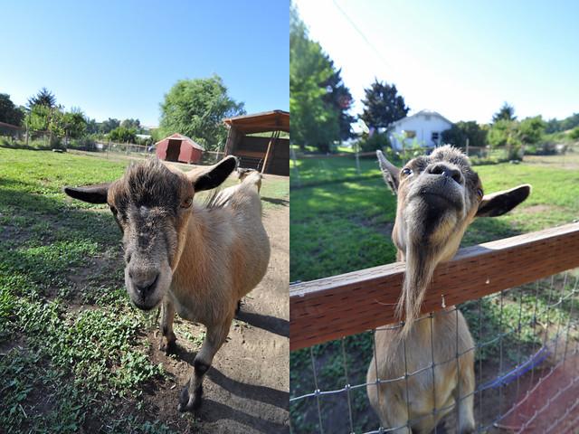 DSC_5375 (goats)