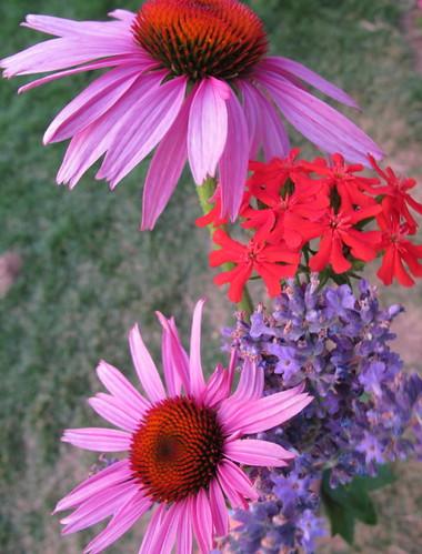 Coneflowers, lavendar, maltese cross