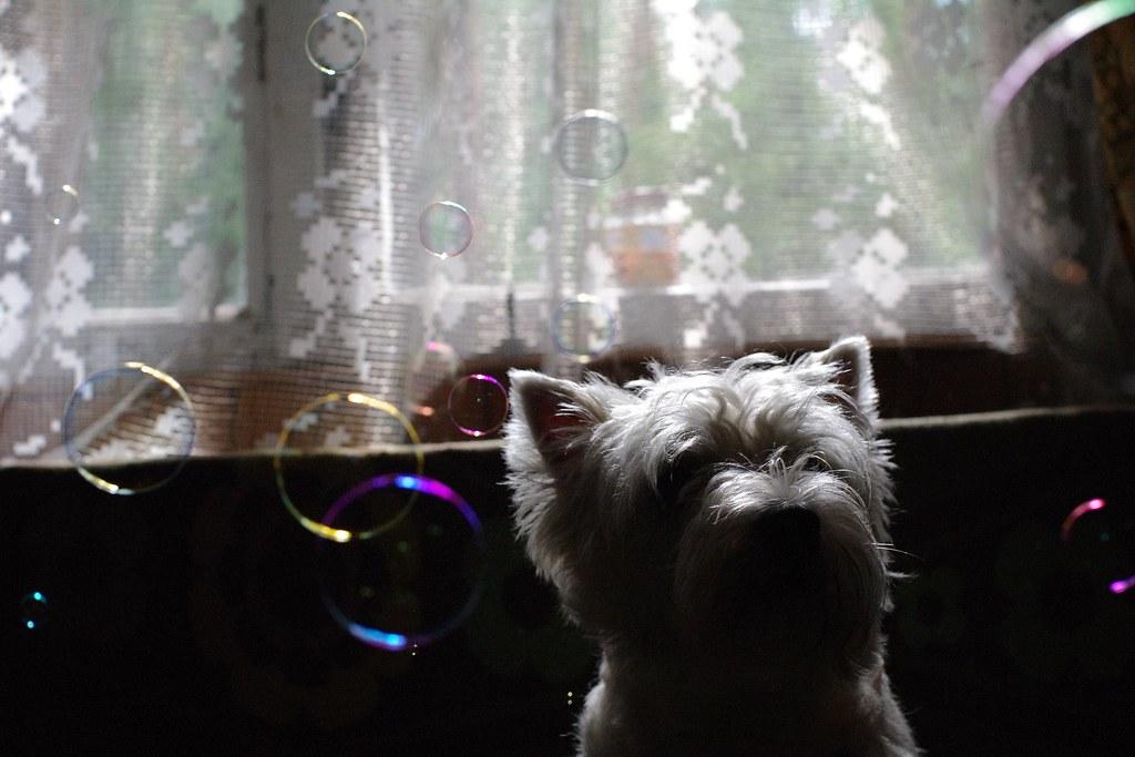 狗狗玩泡泡!