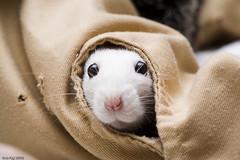 Peeking Elise (Arathrael) Tags: pet girl female rodent rat elise
