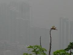 Victoria Peak Dragonfly