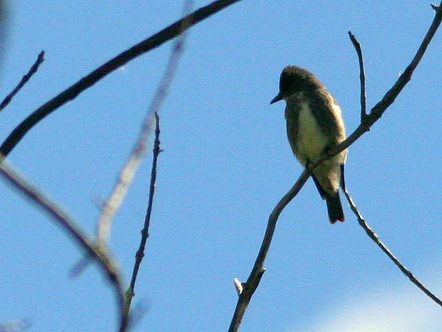 Olive-sided Flycatcher 3-20100904