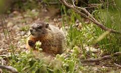 Baby marmot (scepdoll) Tags: pilgrimcreekroad grandtetonnationalpark wyoming marmots wildlife findyourpark marmot animal