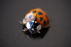 Ladybird [184/365 2017] (steven.kemp) Tags: ladybird ladybug bud insect macro
