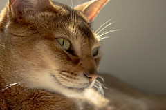 Majestic (Laurie4593) Tags: abyssinian abyssinianbreed cat feline majestic indoors backlit face closeup canonrebelt3i cute handsome handheld