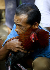 A cock being held by its handler during a cockfigting event, Bali island, Canggu, Indonesia (Eric Lafforgue) Tags: adult animals asia asian bali bali116 balinese bet betting birds blood bloodsport cockfighting cocks cruel feathers festival fight fighting gamble gambling illegal indonesia indonesian menonly onemanonly oneperson roosters sport traditional vertical canggu baliisland