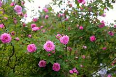Moelvrose/Hurdalsrose (fotomormor) Tags: hønefoss roser rosa grønt hus vinduer busker