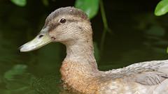 Only a duck portrait (Franck Zumella) Tags: portrait duck bird canard mallard oiseau col vert colvert eau water lake lac